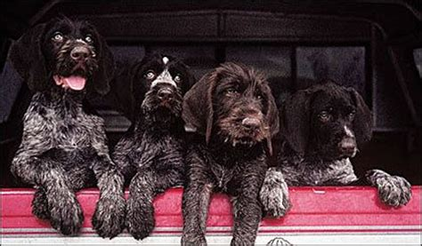111 best Wirehaired Pointing Griffon images on Pinterest