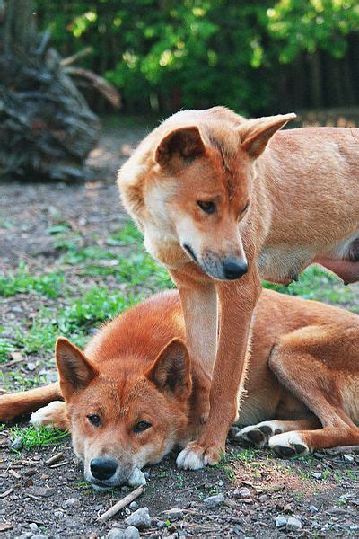 Dingoes (Canis lupus dingo) are a 'native' species of dog