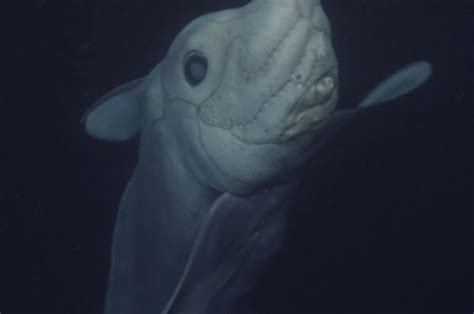 Ghost shark species caught on camera for first time ever