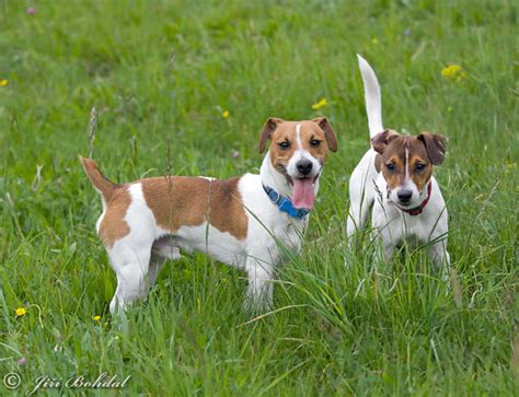 Canis lupus familiaris Pictures, Jack Russell Terrier