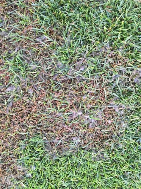 pythium   K-State Turf and Landscape Blog